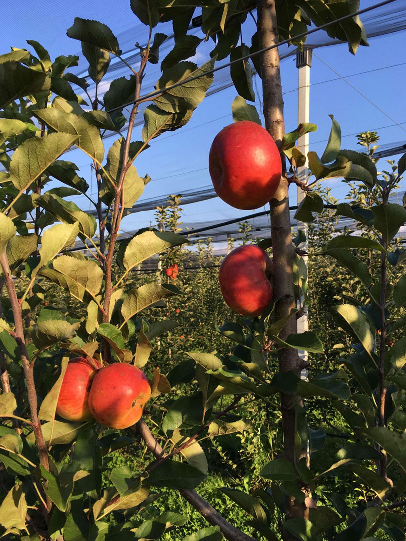 Topaz sorta jabuke 4
