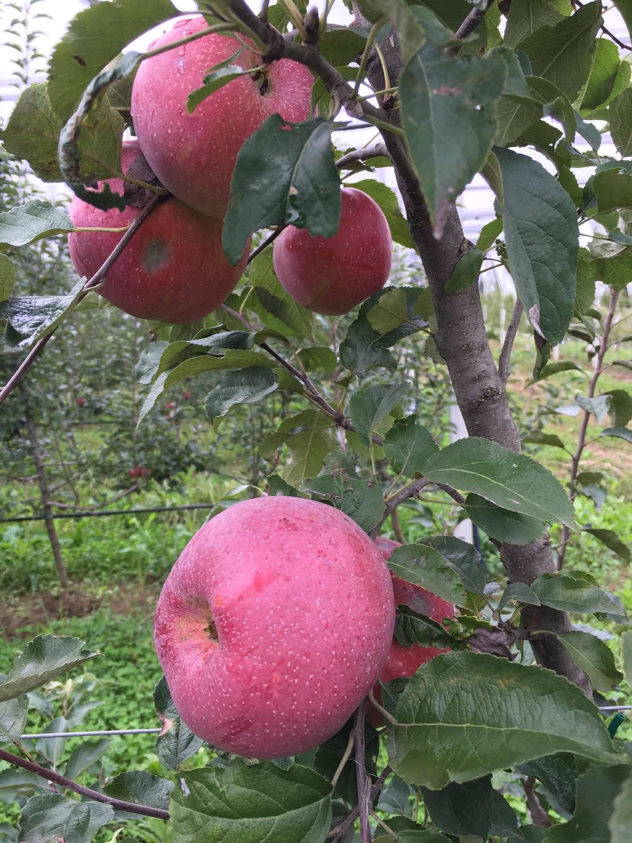 Florina sorta jabuke 1