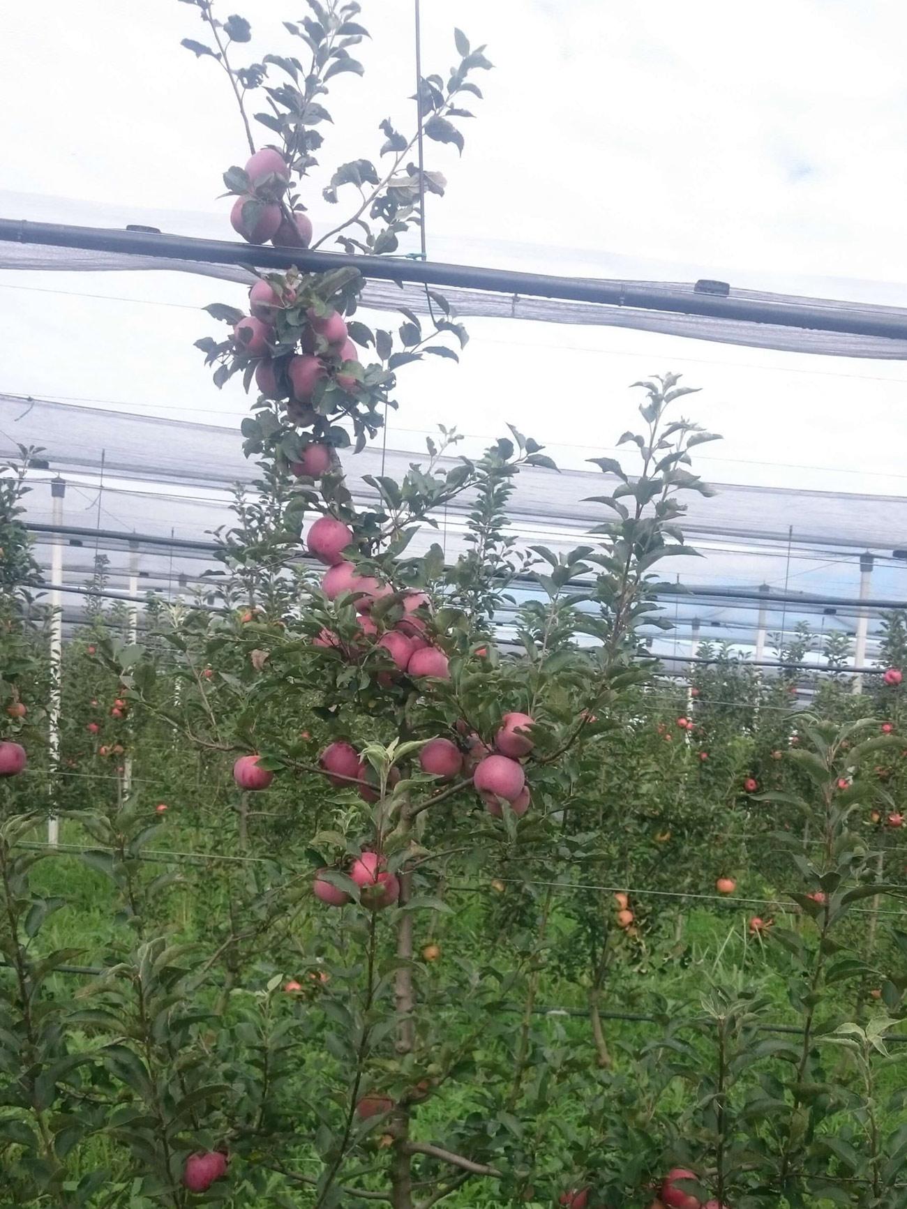 Florina sorta jabuke 3