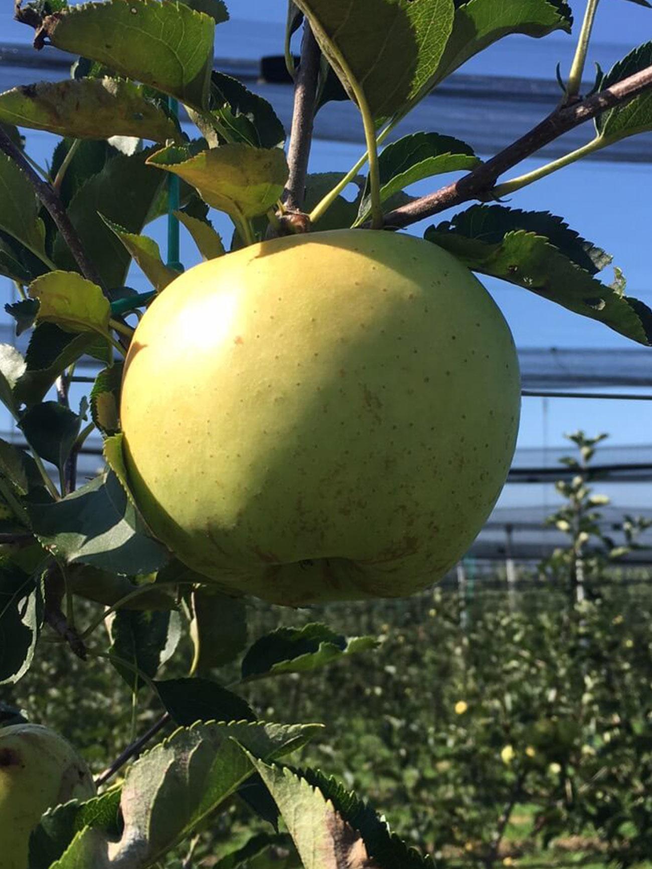 Sirius sorta jabuke 1