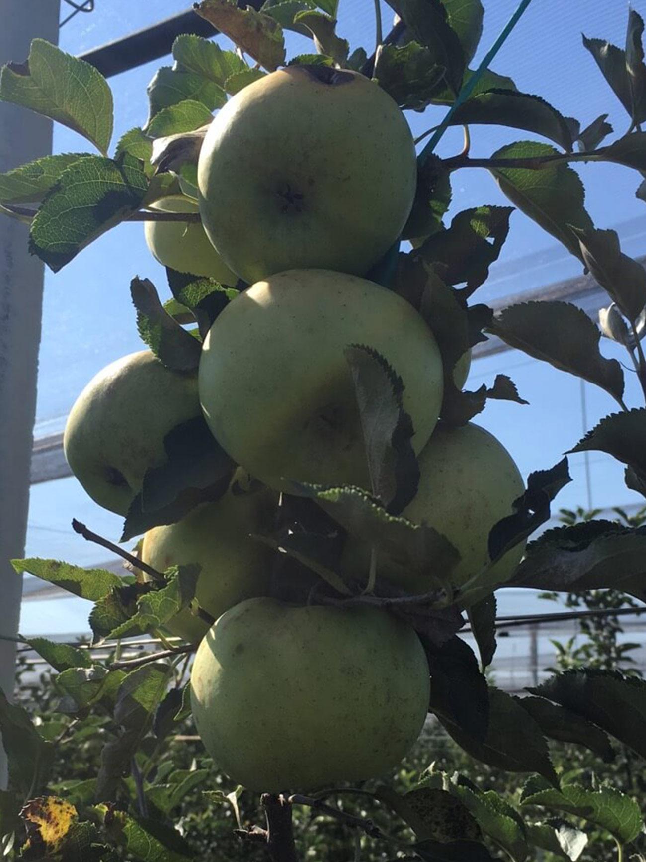 Sirius sorta jabuke 2
