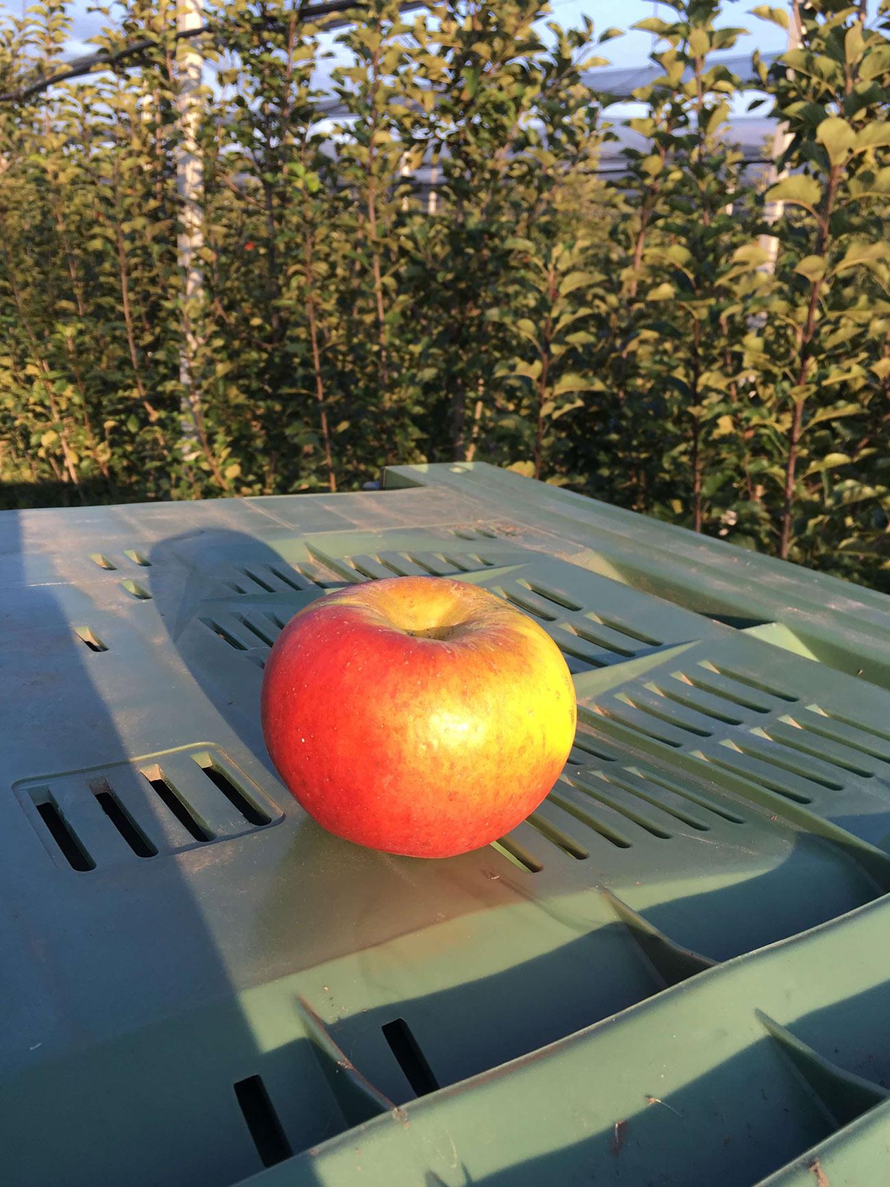 Topaz sorta jabuke 2