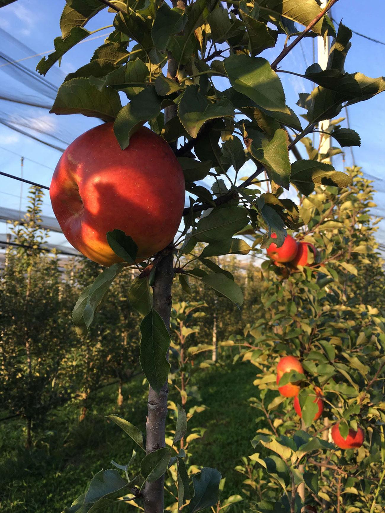 Topaz sorta jabuke 3